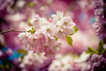 【夢占い】桜の夢13選!満開の桜の意味が気になる!