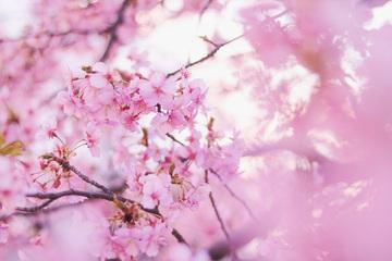 4月9日の誕生石・誕生花・星座・運勢・相性は?【365日誕生日占い】
