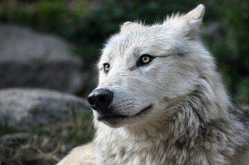 狼系男子の特徴や性格が知りたい!恋愛傾向と好かれる方法を解説